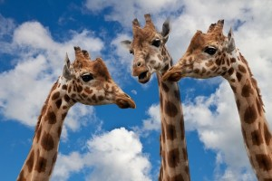 I mean, it's a good picture. They're giraffes, they just want to eat leaves and shit.